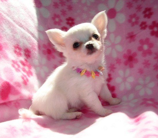 CHIHUAHUA PUPPY FOR FREE ADOPTION