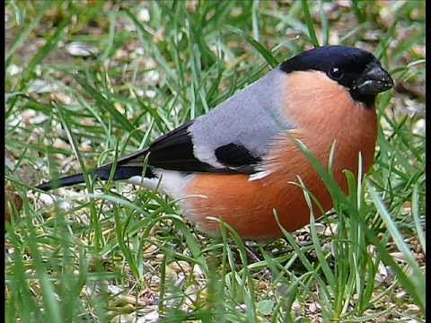 Kertünk madarai és hangjaik 10