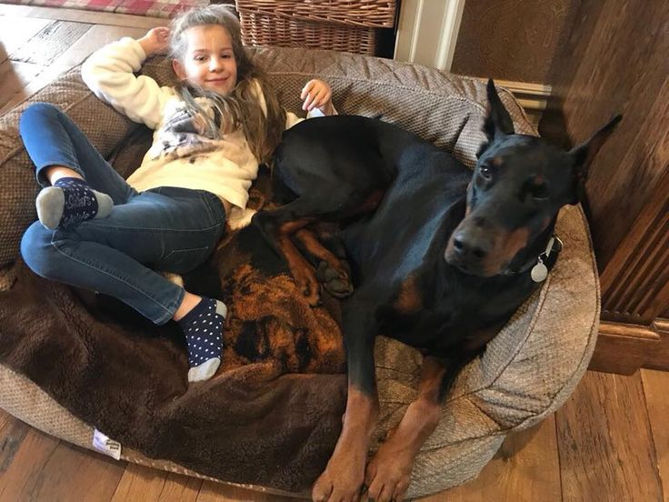 #Rossi #Doberman with his best friend #Elite #Family protection dog #PDW. For more information :http://www.protectiondogs.co.uk/dog_category/dobermans/