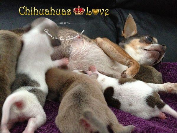 Chihuahuas Love - Dar Leche a Un Cachorro Chihuahua. Alimentación Cachorros Chihuahua.