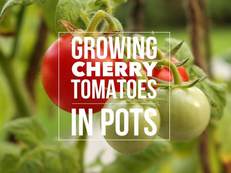 If you're dreaming of home-grown tomatoes, but have limited space, growing them in pots is the ideal solution. Cherry tomatoes, with their compact growth, small fruit and early harvest times are a …