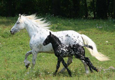 Mystic and Sequoia - Friesan/Appaloosa cross
