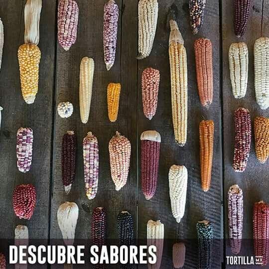 Nos han hecho creer que todos los maíces son iguales… Solo basta observar la diversidad de esta foto para ver la gran diferencia que existe entre todos ellos. Cada maíz tiene sus características particulares, color, textura, forma y por supuesto sabor.  Te invitamos a que descubras los sabores que existen en nuestros maíces mexicanos.