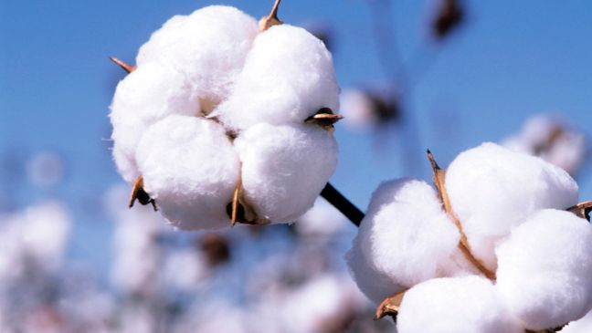 How Is Cotton Made & Why Is It So Bad? - http://theswatchbook.offsetwarehouse.com/2014/12/12/how-is-cotton-made-why-bad/:  #Cotton, #Fabrics, #OffsetWarehouse, #Organic, #Sustainable