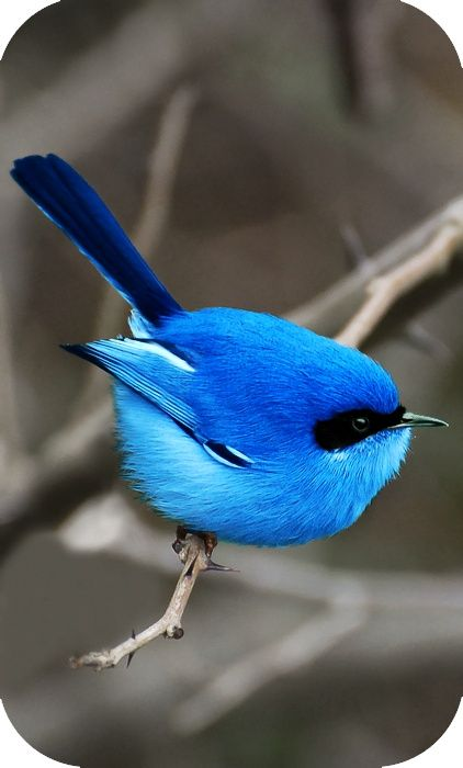 The blue fairy wren of Australia ~ wow these birds are beautiful in person too.. More so in person...