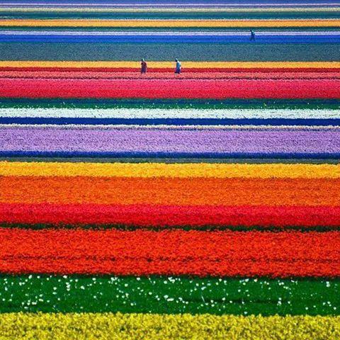 Campos  de flores  que  maravilla
