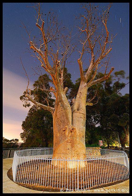 Gija Jumulu Boab, Kings Park, Botanic Garden, Perth, WA, Australia by Ilya Genkin / genkin.org, via Flickr