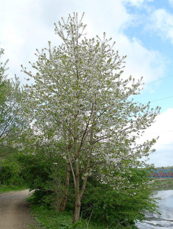 Cherry Wild Wild Cherry Tree Gean Wild Flower Finder Tree Uk Cherry Tree Wild Flowers