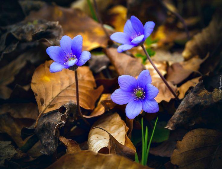 Niebieskie, Kwiaty, Przylaszczki, Suche, Liście