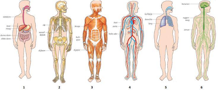 Orgaanstelsels in het menselijk lichaam - ThingLink