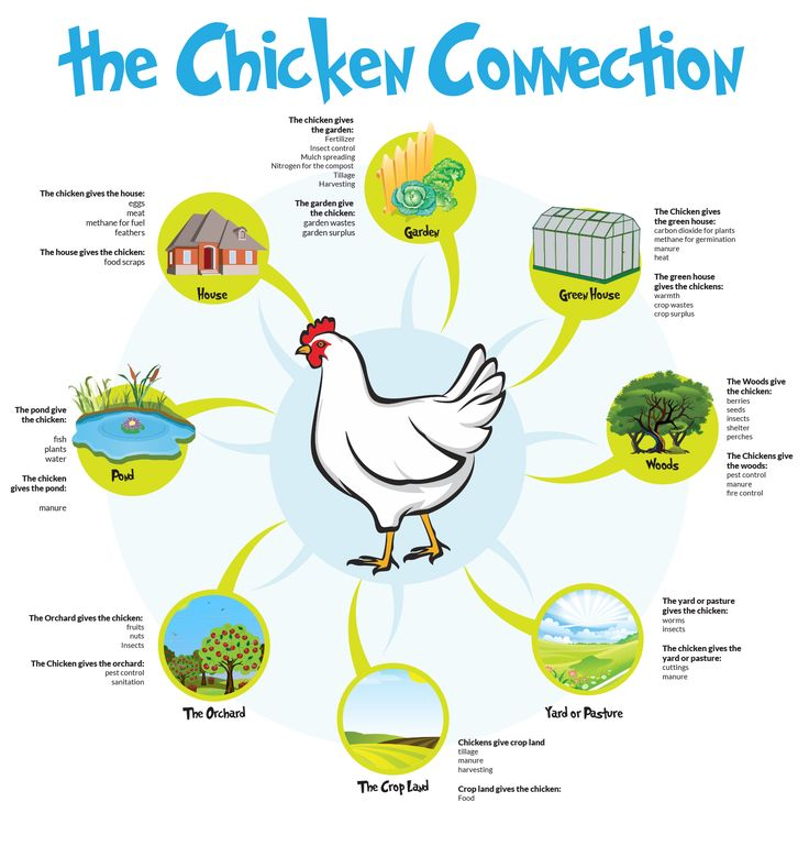 how permaculture chickens could revolutionize your entire