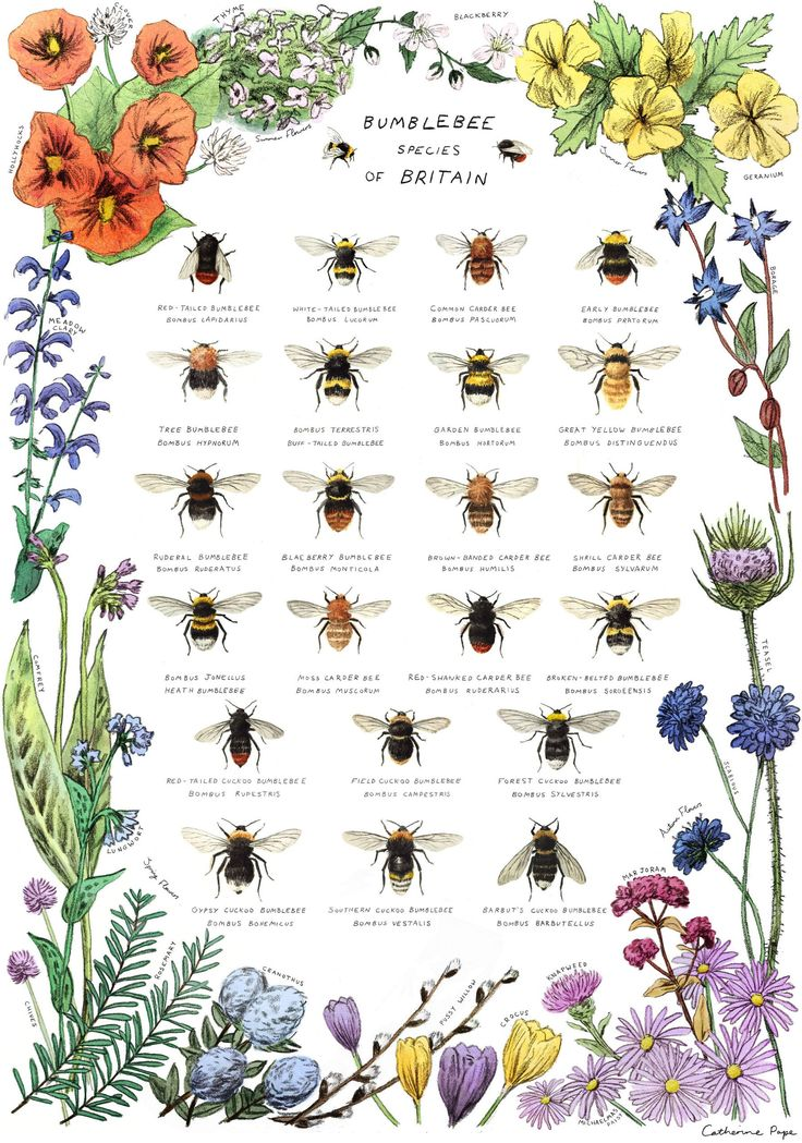 Catherine Pape Illustration — Bumblebee Species of Britain print