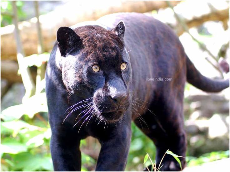 25+ best ideas about Panther facts on Pinterest | Panther ... - photo#42