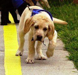 Leash Training Puppies