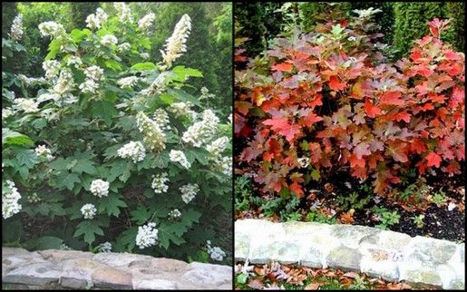 Oakleaf hydrangea in bloom, and in fall color.
