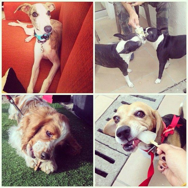 El Día Internacional de los Derechos de los Animales busca recordarle a los seres humanos que todas las criaturas en el planeta merecen ser tratadas con igual respeto y bondad.  Te invitamos a que nos acompañes a apoyar esta causa, comenzando por ti mismo ❤️ #perrofeliz #chachayelgalgo #dogs #puppy #paletaparaperros #dogfriendly #love #cali #colombia