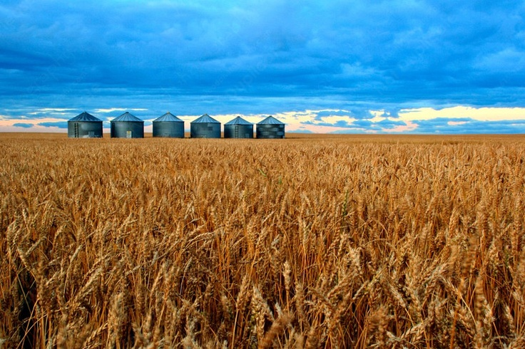Grain bins amongst wheat crops