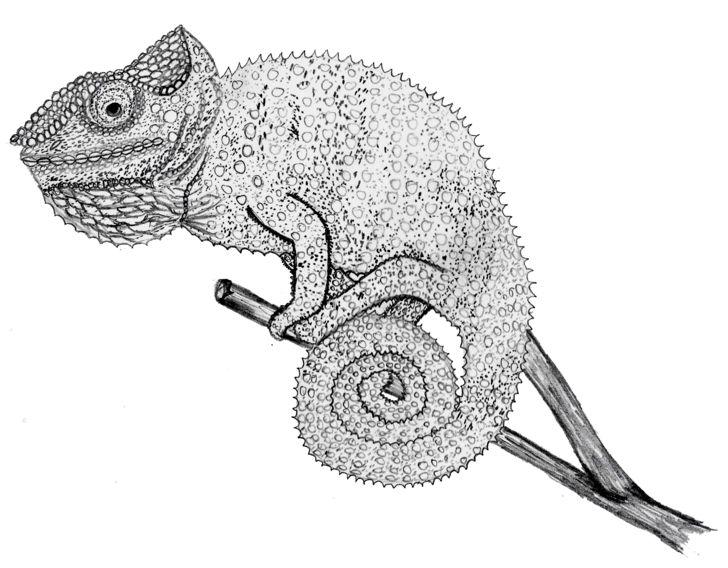 картинки как рисовать хамелеона то, что они