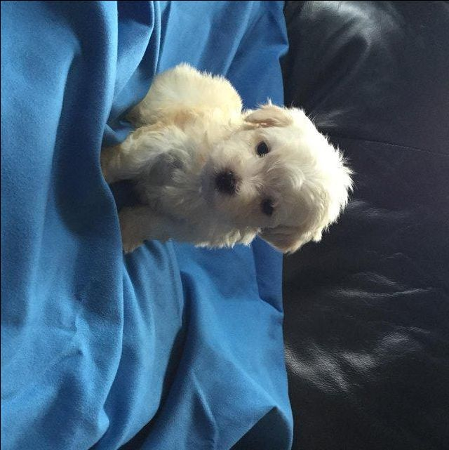 Gorgeous Havanese puppies For Sale in Sleaford, Lincolnshire   Preloved