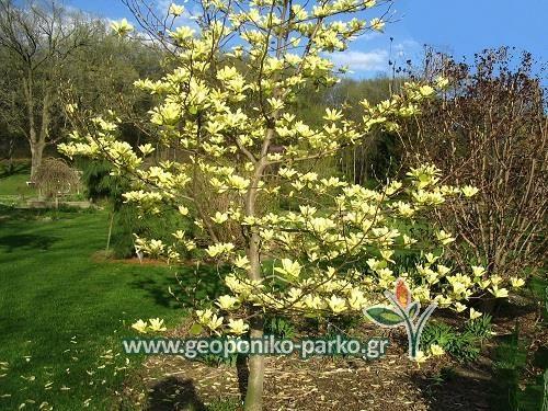 Θάμνοι Καλλωπιστικοί - Φυτά Κηποτεχνίας : Μανόλια φυλλοβόλα κίτρινη - Μαγνόλια - Magnolia - 'Elizabeth'- Yellow Bird