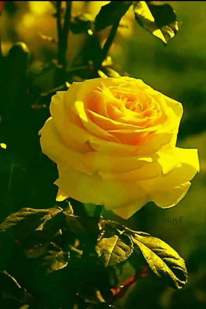 Желтые розы картинки и анимации, шариками скрапбукинг поздравления