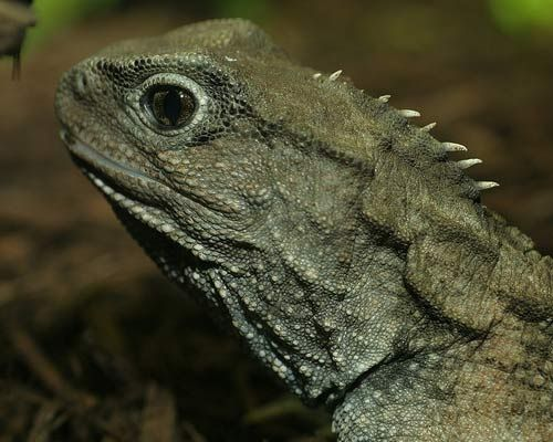 Tuatara - Source: Tad Arensmeier. The tuatara has virtually remained the same for over 140 million years. The tuatara is a reptile, but not in the lizard family, it is part of the family Rhynchocephalia (which translates to Beakheads) which appeared over 220 million years ago. All the Beakheads, besides the tuatara - 2 species, became extinct about 60 million years ago. They are very rare, nocturnal animals. Family: Sphenodontidae