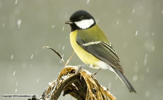 BBC Nature - Great tit videos, news and facts
