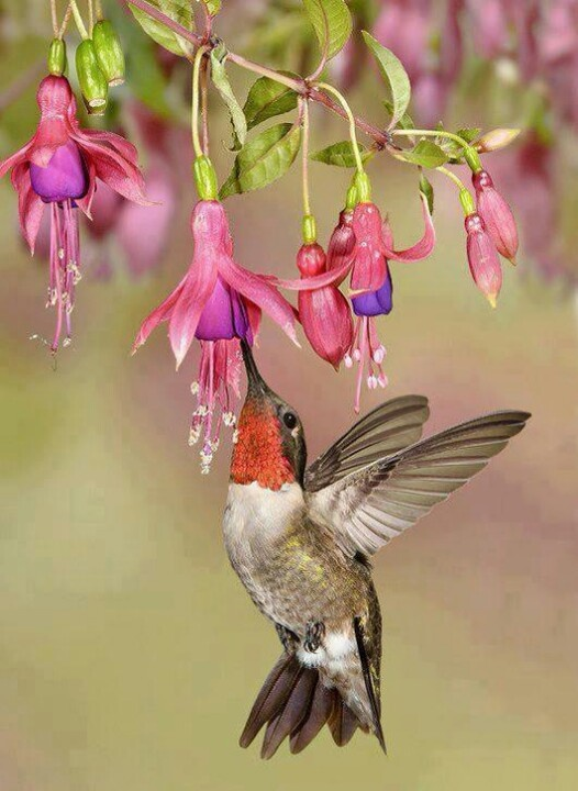 25 Best Ideas About Ruby Throated Hummingbird On