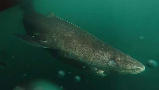 Deze 400 jaar oude haai zou sleutel kunnen hebben voor langer leven - HLN.be