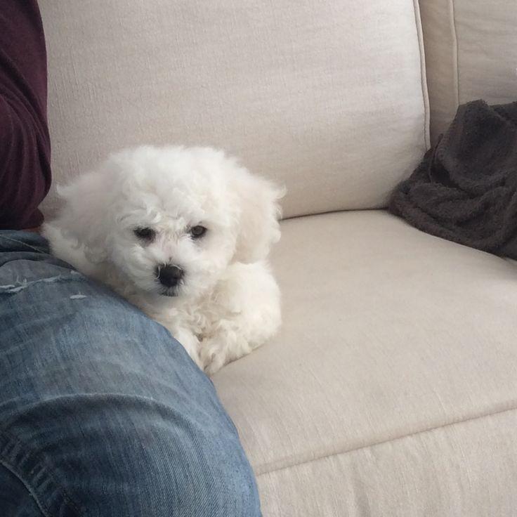 My Bichon frise puppy