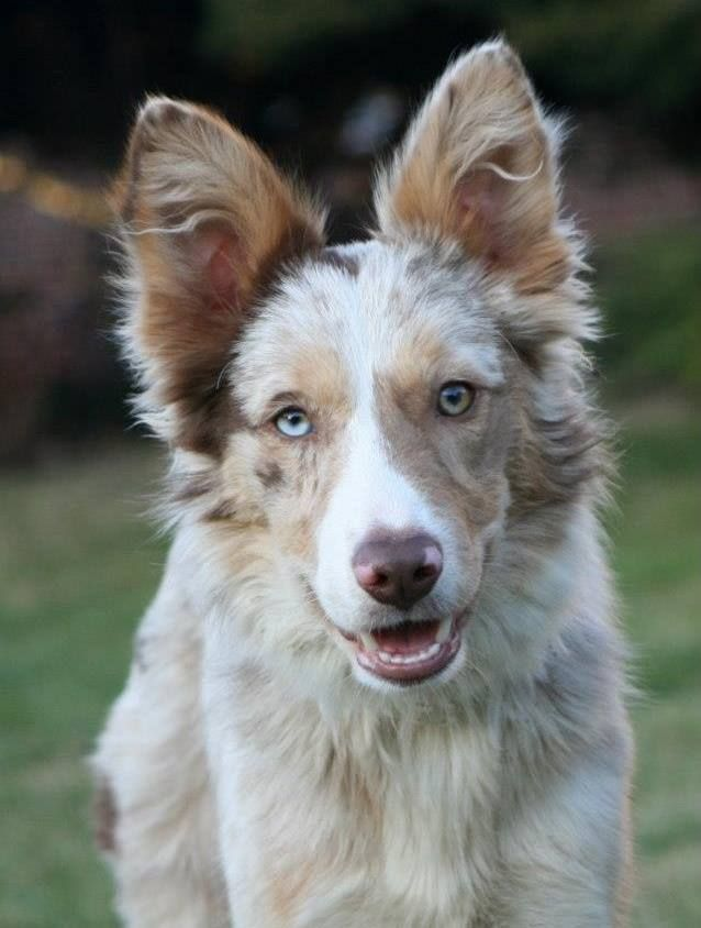 I Want A Red Merle Border Collie But With 2 Green Eyes Laying Red Merle Color Border In 2020 Red Merle Border Collie Border Collie Blue Merle Border Collie Blue Eyes