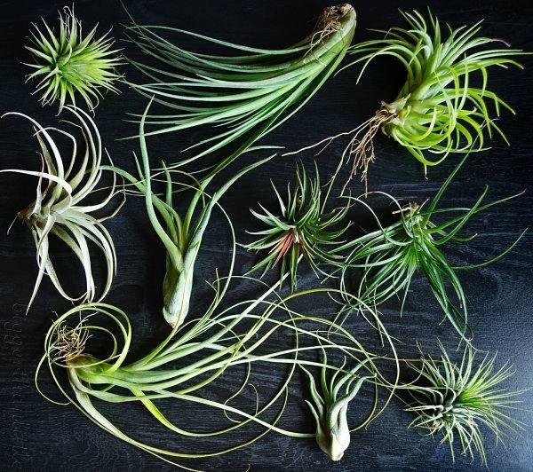 pflanzen pflege luftpflanzen dekoration ideen                                                                                                                                                                                 Mehr