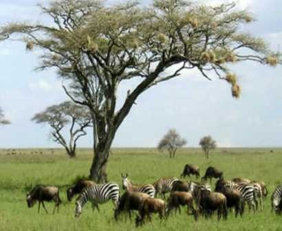People having interest for adventure and wild animals can make a plan for African wildlife safari. East African wildlife safari offers real encounter with the wildest animals and unusual flora and fauna. The expert guides are always there to help you in any need. To get more details on Serengeti safari contact on 254 727478845