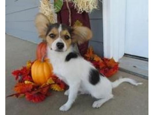 Gorgeous and Charming Male and Female Papillon Puppies for Free Adoption