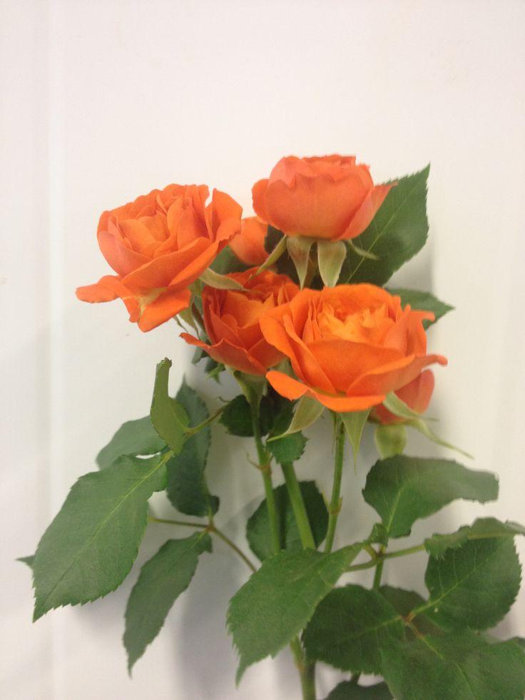 Rosa - Babe- Grein Rosa - Orange