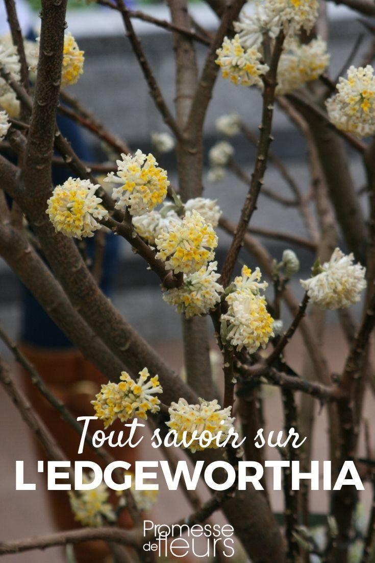 Edgeworthia Chrysantha Buisson A Papier Planter Et Entretenir