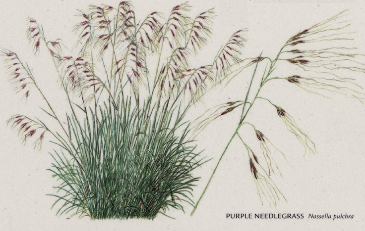 state grass nassella pulchra or purple needlegrass is a medium large long lived bunchgrass. Black Bedroom Furniture Sets. Home Design Ideas