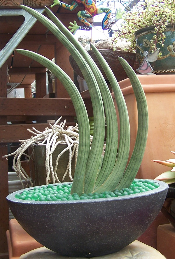 """Sansevieria cylindrica """"Skyline"""" Succulent"""