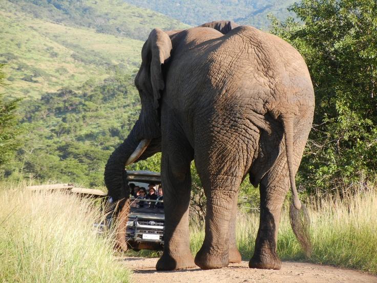 Elephant playing major roadblock at Hluhluwe N.P.