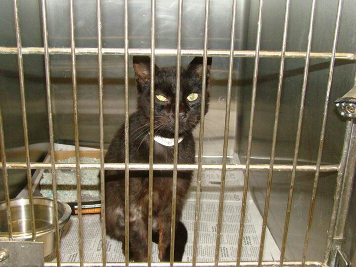 This sweet cat is at Barrow County Animal Shelter and needs adoption/foster/rescue