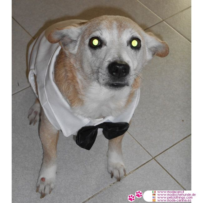 White Tuxedo for Large Dogs #PetClothings - If you're looking for a Tuxedo for your big sized dog, this is the right clothing; white with black collar and bow tie: Tuxedo for Large Dogs