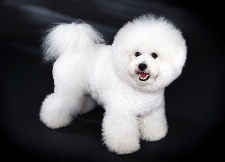 Американский стандарт описывает бишон фризе как «белую собачку, похожую на пуховку для пудры, с веселым нравом, о чем свидетельствует хвост, который пес держит над спиной с небрежным изяществом, а также темные глаза, в которых светится любознательность».
