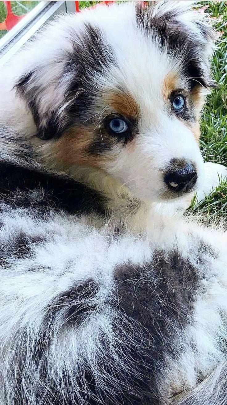 Australian Shepard blue Merle                                                                                                                                                                                 More