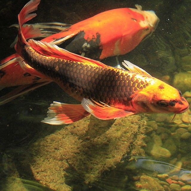 494 best images about koi fish goldfish on for Red and white koi