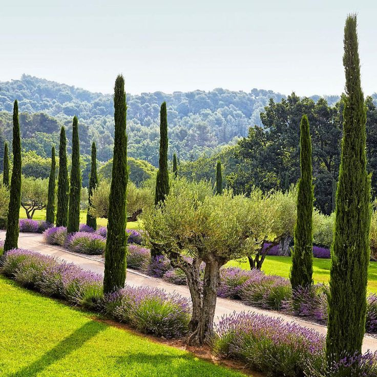 Olive trees lavender and proven al cypress line the for Italian landscape design