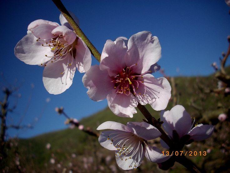 Beautiful pink peach blossoms