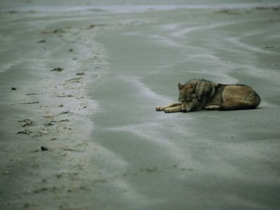 *Find an isolated Beach, daydream and watch the tide come in...heaven!!*   Gray Wolf on Beach [best of national Geographic photos]