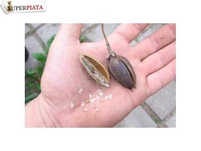 Vand seminte de Paulownia Cluj-Napoca - Anunturi gratuite Superpiata.com