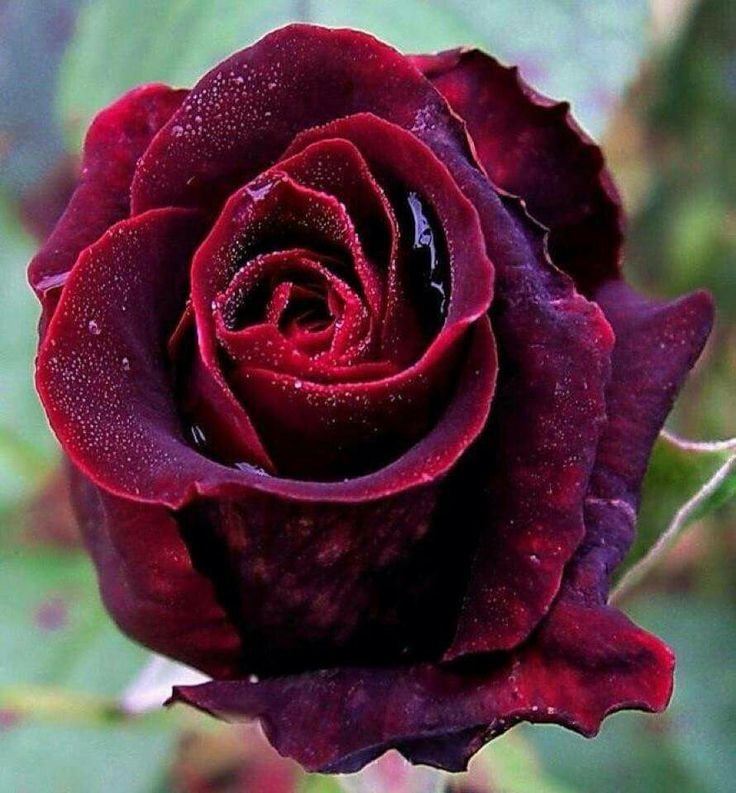 Deep red rose                                                                                                                                                                                 Mais
