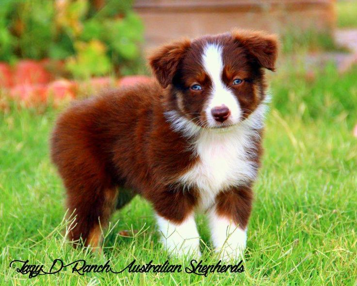 202 best mostly aussies images on pinterest australian shepherd aussie pup red tri malvernweather Images
